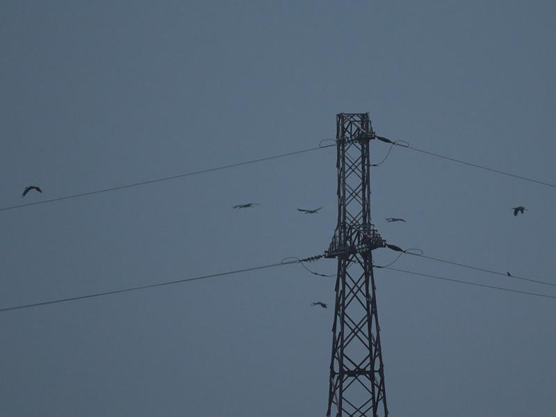 Attēlā redzamais vidējais putns gandrīz noteikti ir Kate, jo lielā pietuvinājumā var saskatīt antenas siluetu
