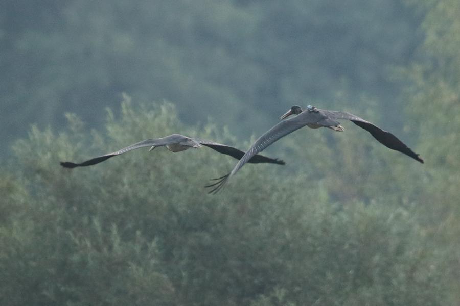 © Silvestr Szabo. Upene kopā ar citu jauno melno stārķi lidojumā pie Oršas upes