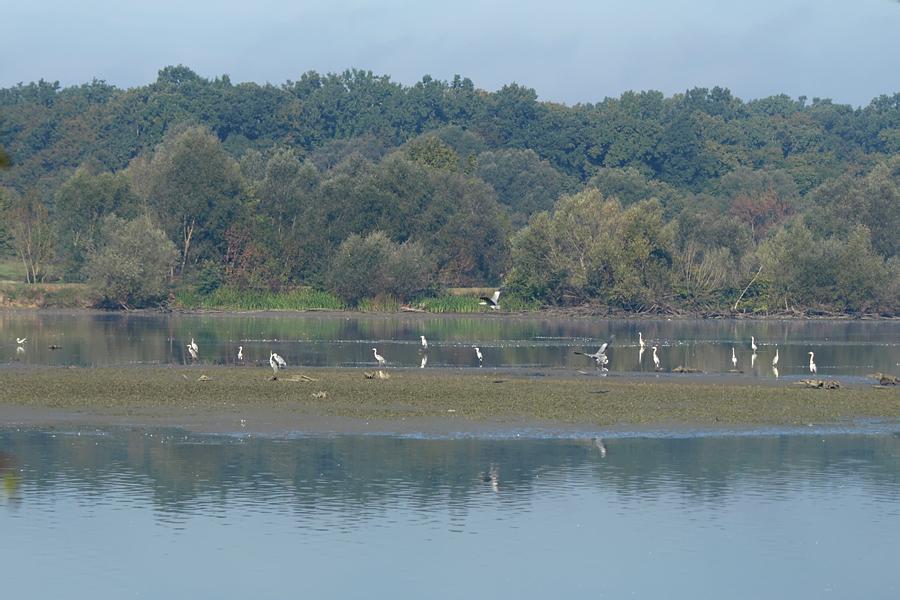 Meijas barošanās vieta Sisčanu zivju dīķos, 4.10.2015. Foto: © Darko Podravec