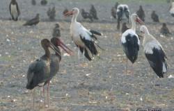 Upene Neve Eitan dīķos kopā ar citiem stārķiem un plēsīgajiem putniem. Foto: Giora Leitner ©