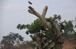 Pirmās ziemas melnais stārķis atpūtā uz Baobaba Etiopijā, 'Džimmas apkārtnē 2006.g. janvārī