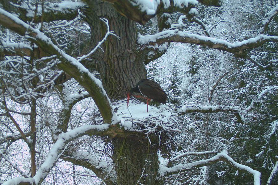 2016. gadā agrāk atlidojušie putni pieredzēja laika apstākļus, kas viņu dzīvē pārāk bieži negadās. Attēls uzņemts 24. martā, 11:16 Ventspils novadā, gaisa temteratūra +1°C. © Melno stārķu izpētes projekts