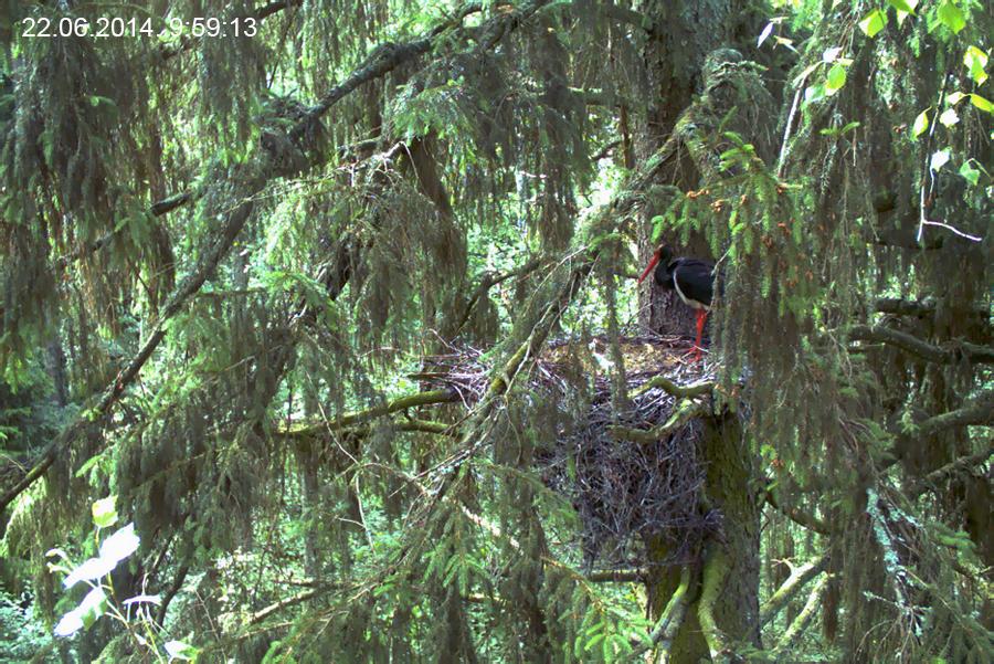 """Vienīgā melnā stārķa ligzda Latvijā """"normālā"""" eglē. Egles stumbra diametrs fotografēšanas gadā ir 86cm, bet ligzdas zināmais vecums - 24 gadi. Par to, ka ligzda ir ilggadīga (noteikti lietota vairāk nekā 10 gadu), liecina zaļaļģu vienmērīgais """"krāsojums"""" uz stumbra zem ligzdas. Šī koka vecums ir tikai 105 gadi, taču pievērs uzmanību attālumam starp zaru mieturiem."""