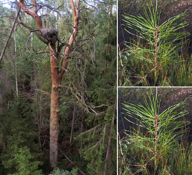 Attēla kreisajā pusē viena liela priede (kas ir ciršanas vecumu jau pārsniegusi), attēla labajā pusē divas priedītes, kādas stāda (nocirsto koku vietā)